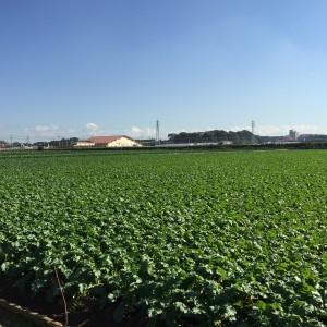 ここ北海道ではありません!都市農業現地検討会で見た横須賀市長井の大根畑です。